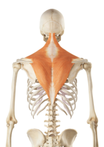 Skeleton with trapezius muscles