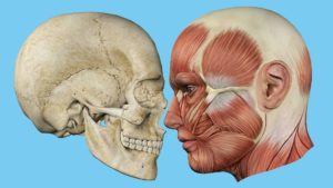 two head drawings showing skull and muscles