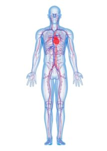 diagram of the circulation system inside the human body