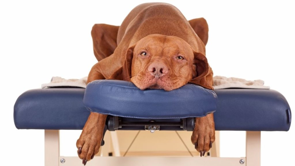 dog laying on a massage table getting ready for a dog massage