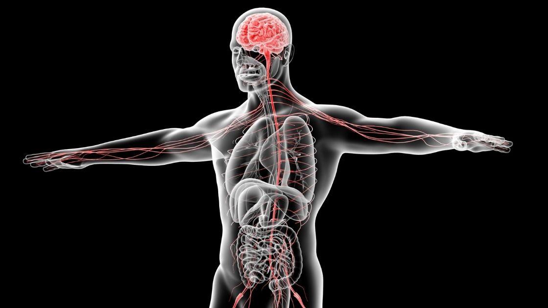 nervous system inside a human body